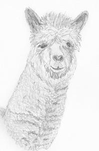 für Alpaka / Lama